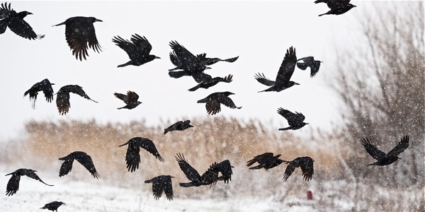 Cappell:  A Sunday Crow Hunt….