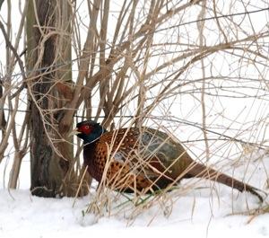 pheasant_inset